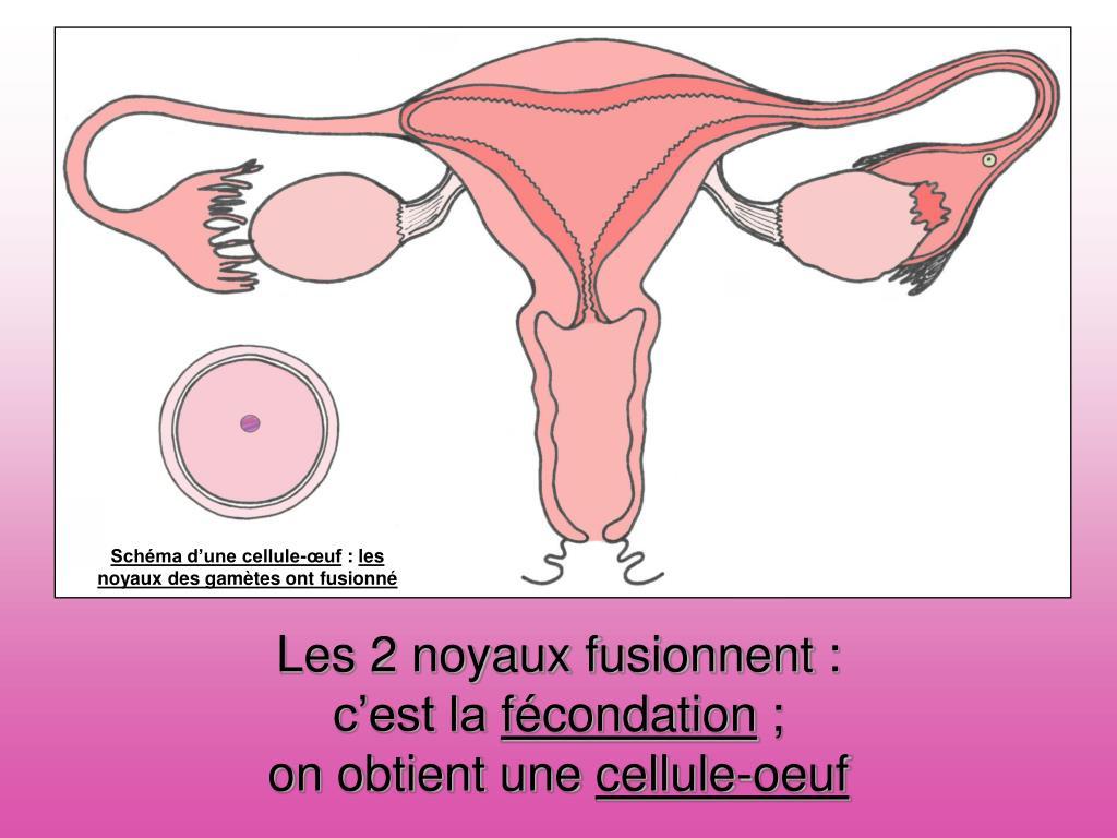 Schéma d'un ovule fécondé
