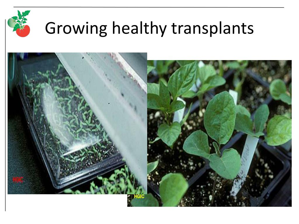 Growing healthy transplants