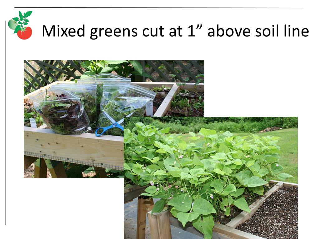 "Mixed greens cut at 1"" above soil line"