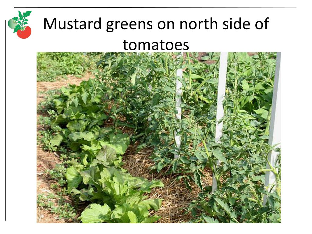 Mustard greens on north side of tomatoes