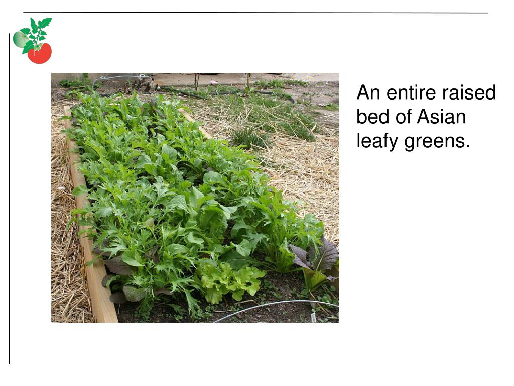 An entire raised bed of Asian leafy greens.
