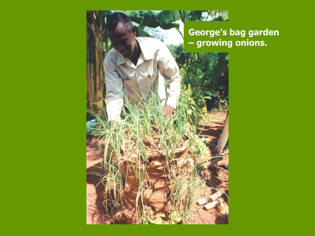 George's bag garden – growing onions.