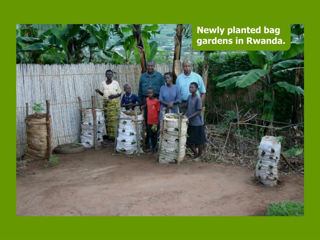 Newly planted bag gardens in Rwanda.