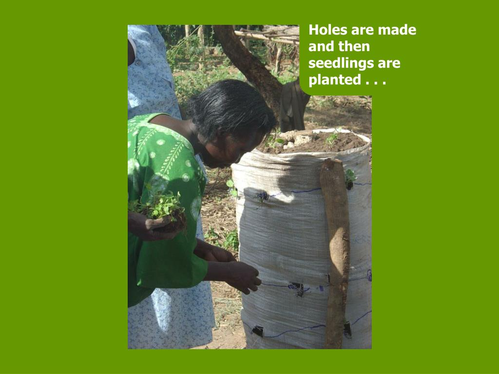 Holes are made and then seedlings are planted . . .