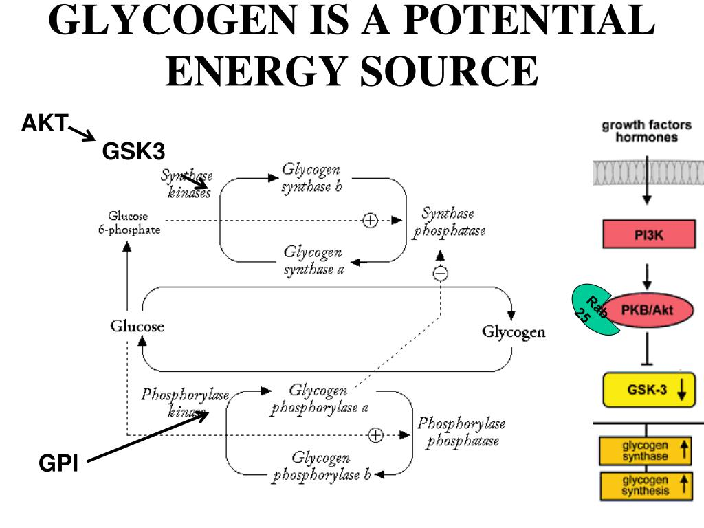 GLYCOGEN IS A POTENTIAL ENERGY SOURCE
