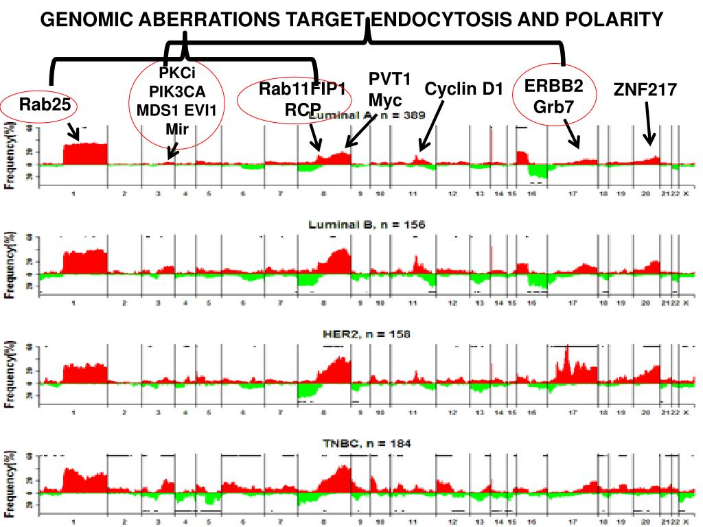 GENOMIC ABERRATIONS TARGET ENDOCYTOSIS AND POLARITY