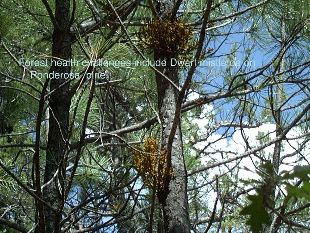 Forest health challenges include Dwarf mistletoe on Ponderosa  pine.
