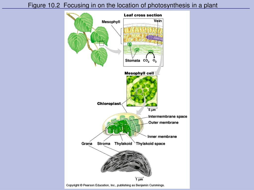 Figure 10.2  Focusing in on the location of photosynthesis in a plant