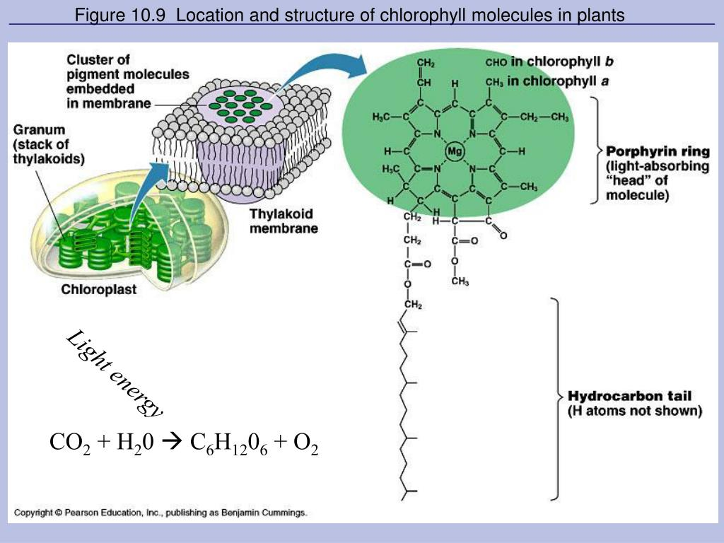 Figure 10.9  Location and structure of chlorophyll molecules in plants