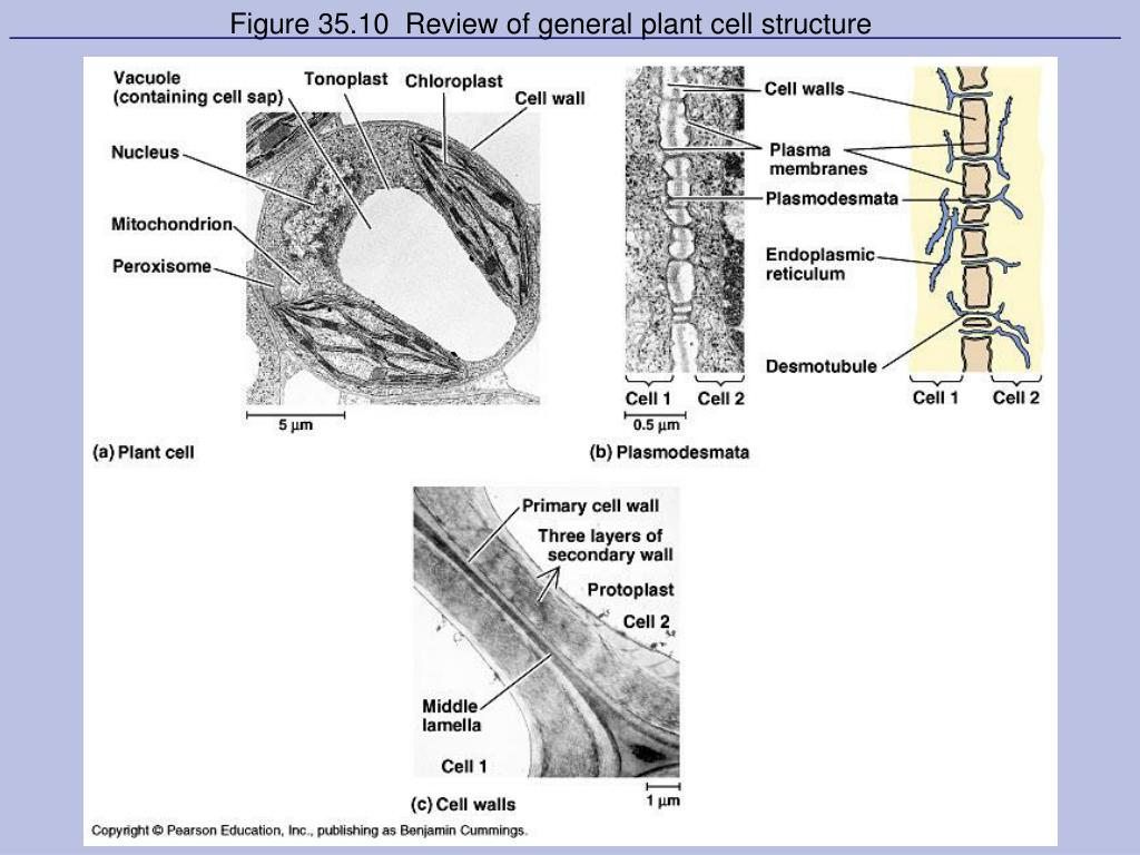 Figure 35.10  Review of general plant cell structure