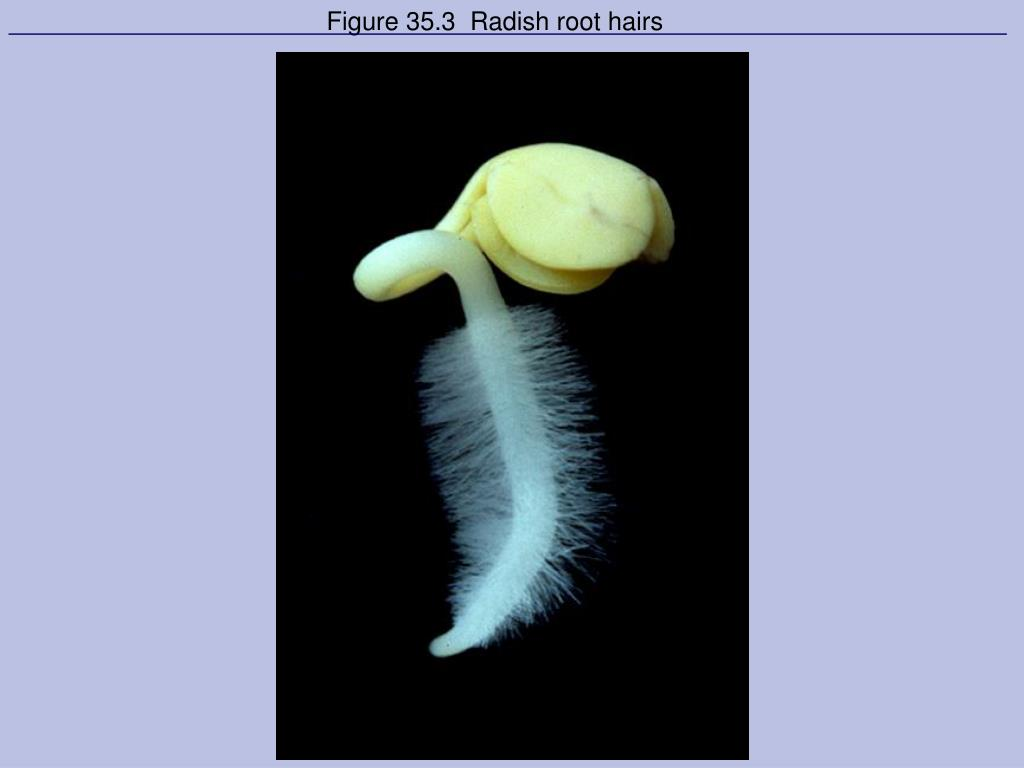 Figure 35.3  Radish root hairs