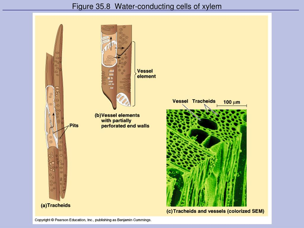 Figure 35.8  Water-conducting cells of xylem