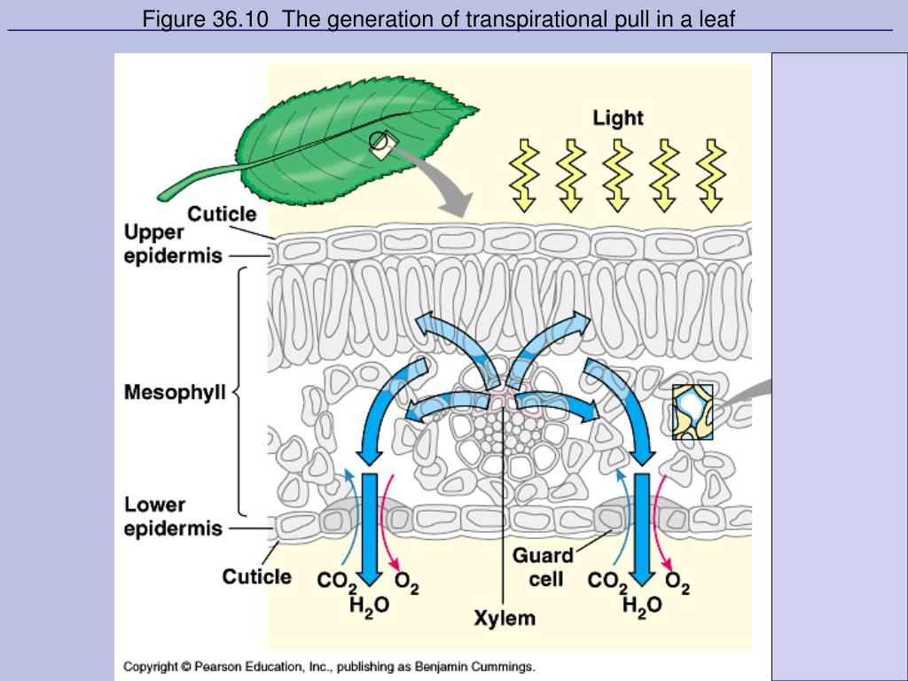 Figure 36.10  The generation of transpirational pull in a leaf