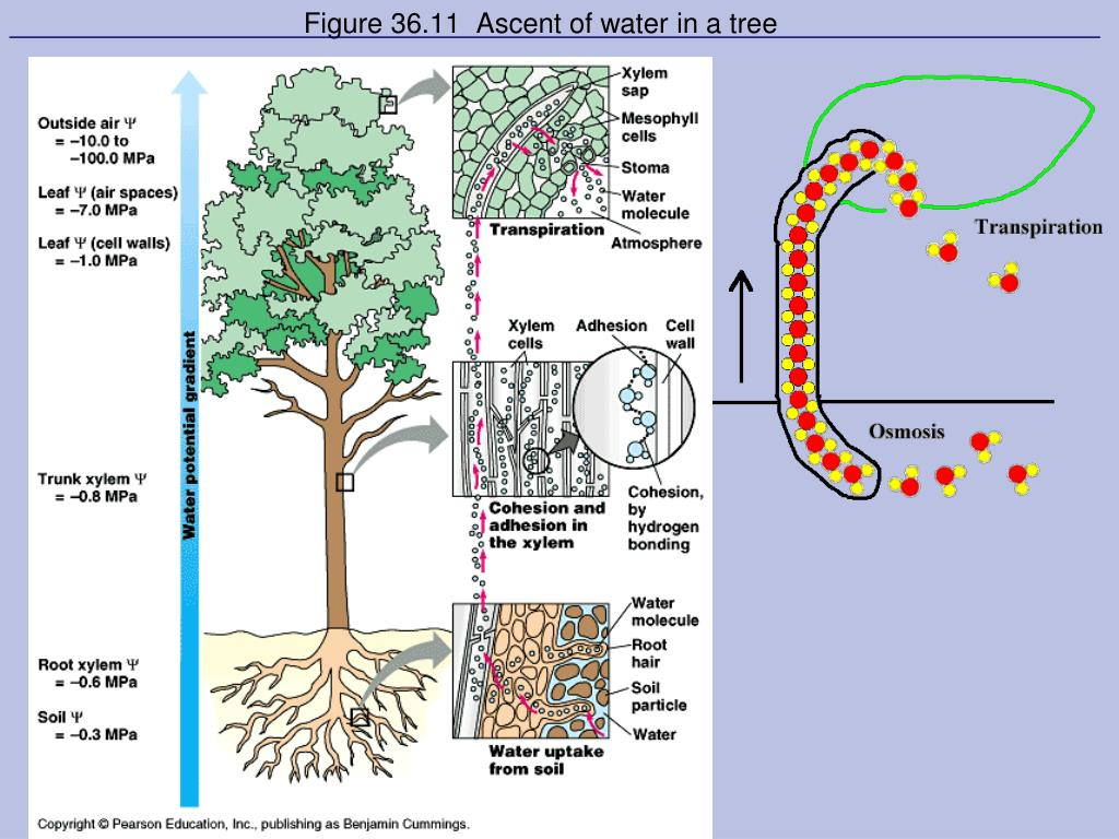 Figure 36.11  Ascent of water in a tree
