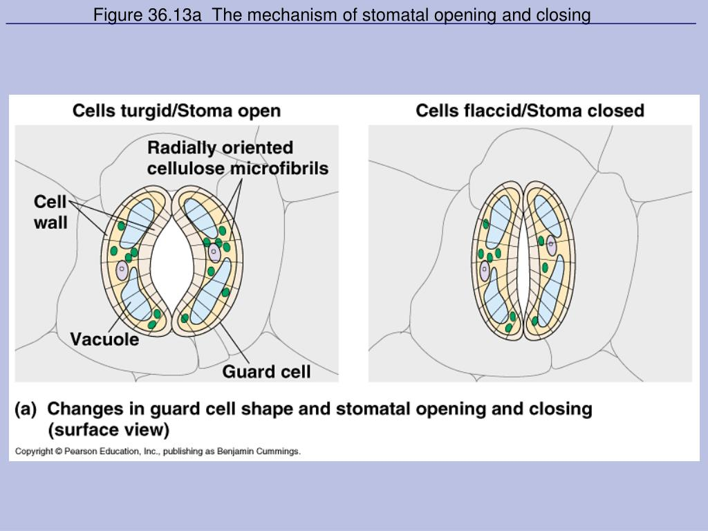 Figure 36.13a  The mechanism of stomatal opening and closing