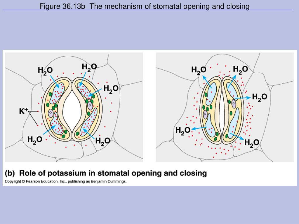 Figure 36.13b  The mechanism of stomatal opening and closing