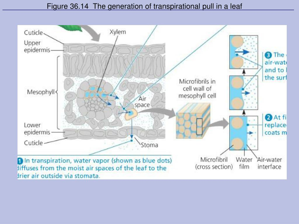 Figure 36.14  The generation of transpirational pull in a leaf