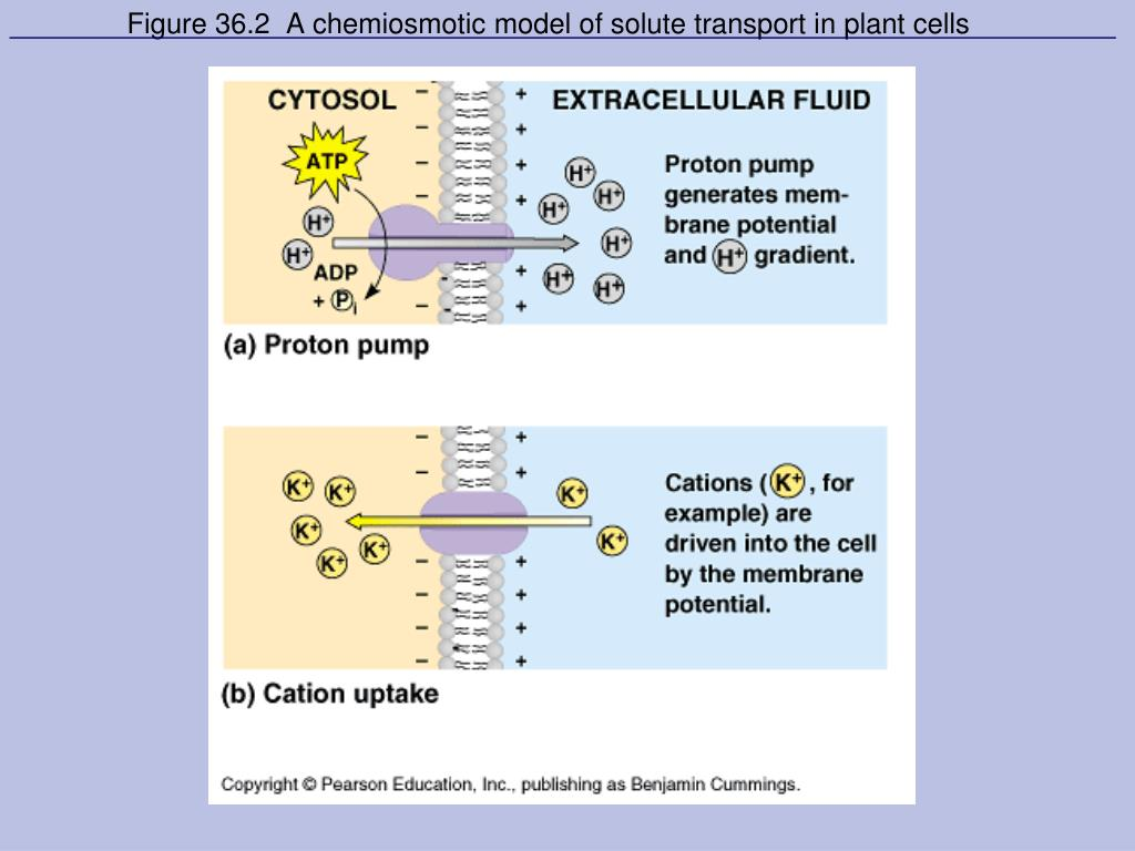 Figure 36.2  A chemiosmotic model of solute transport in plant cells