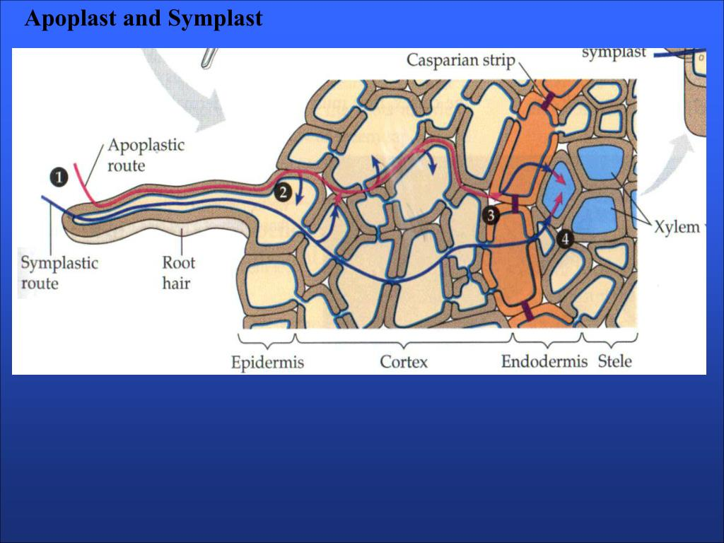 Apoplast and Symplast