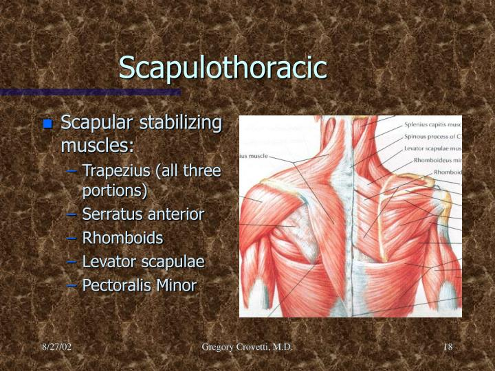 Scapular stabilizing muscles: