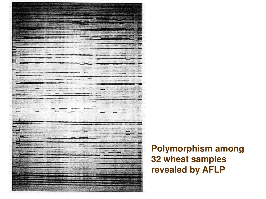 Polymorphism among 32 wheat samples revealed by AFLP
