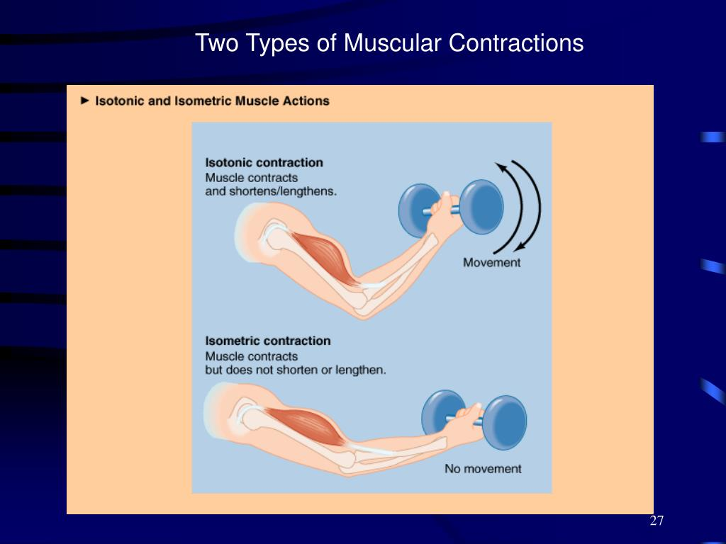 Two Types of Muscular Contractions