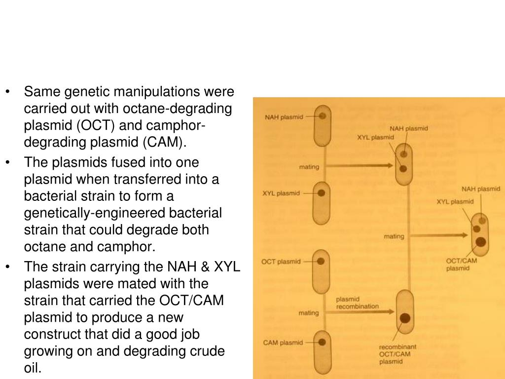 Same genetic manipulations were carried out with octane-degrading plasmid (OCT) and camphor-degrading plasmid (CAM).