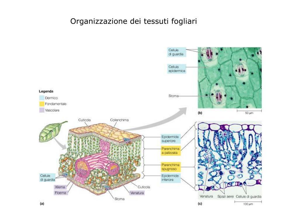 Organizzazione dei tessuti fogliari