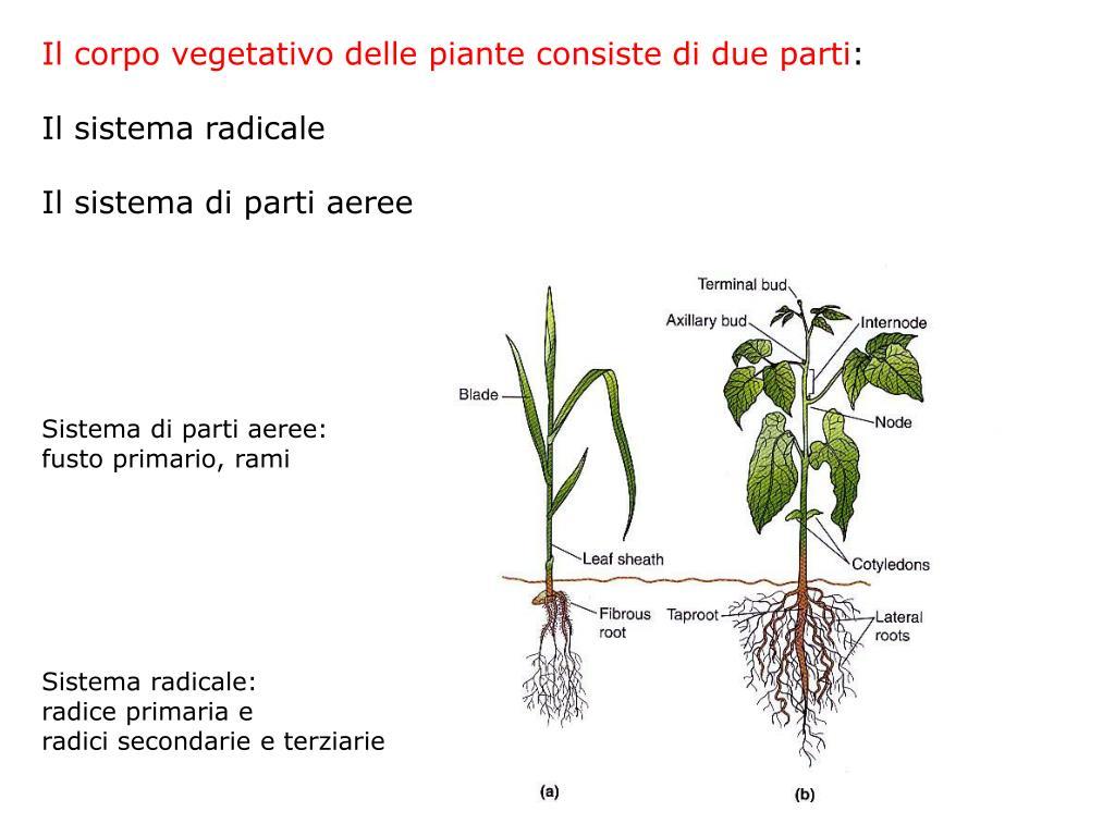 Il corpo vegetativo delle piante consiste di due parti