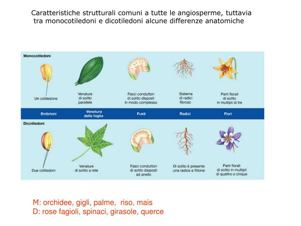 Caratteristiche strutturali comuni a tutte le angiosperme, tuttavia