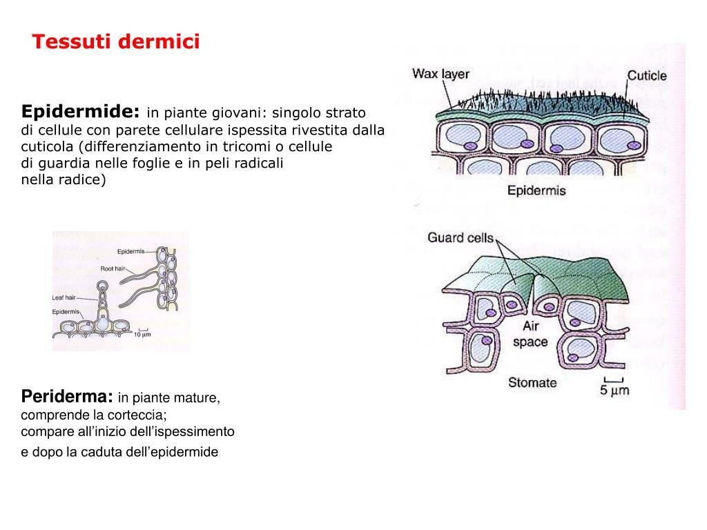 Tessuti dermici