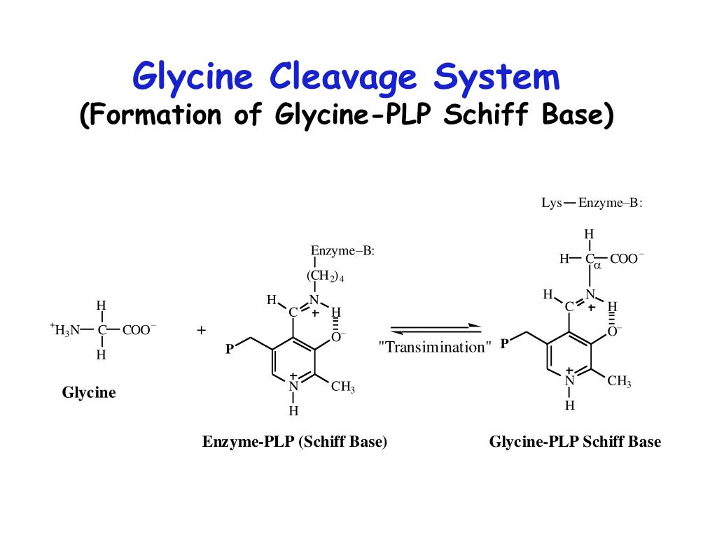 Glycine Cleavage System