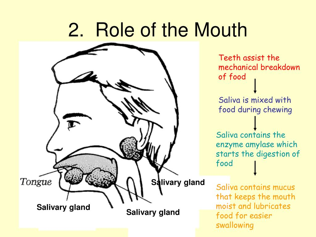 2.  Role of the Mouth