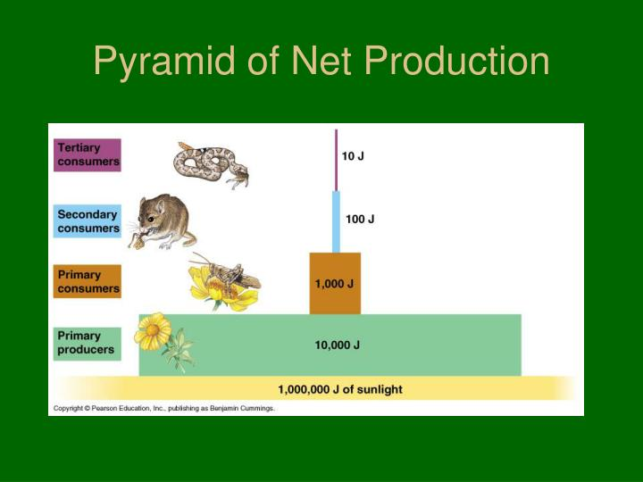 Pyramid of Net Production