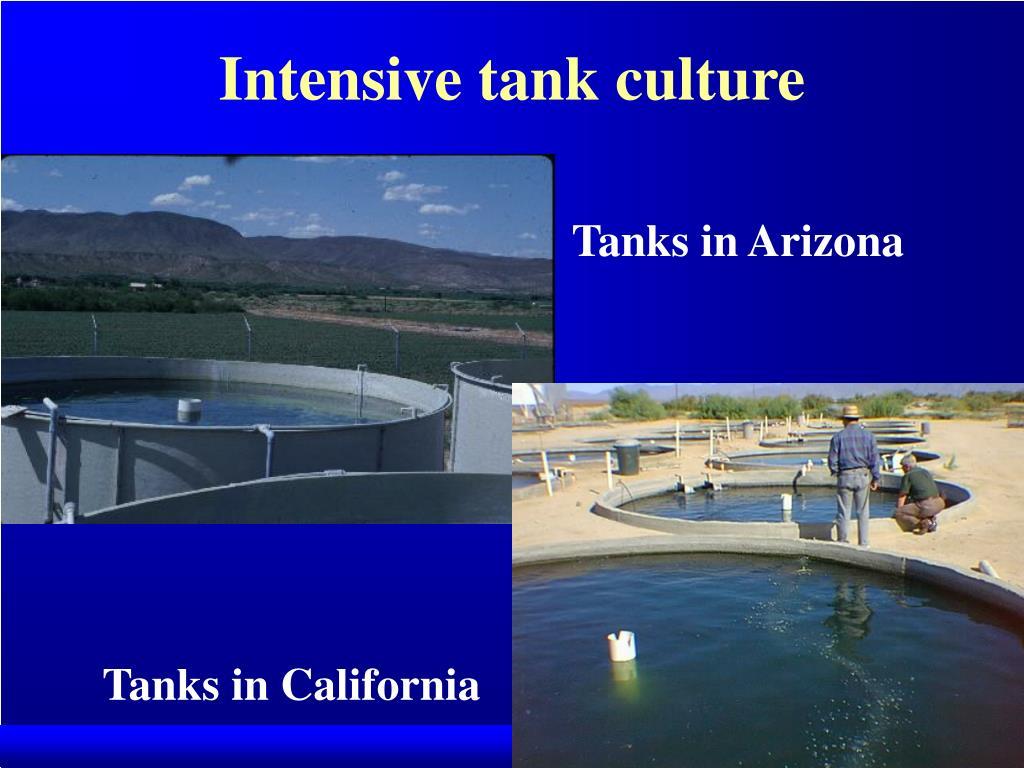Intensive tank culture