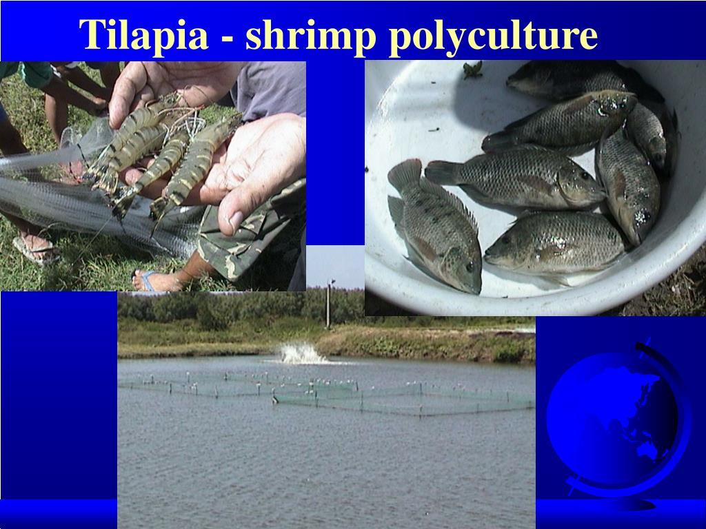 Tilapia - shrimp polyculture
