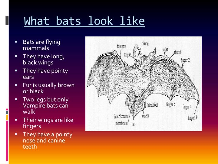 What bats look like