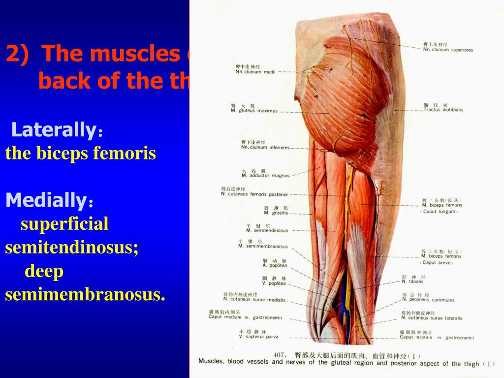 Anatomy muscles of neck