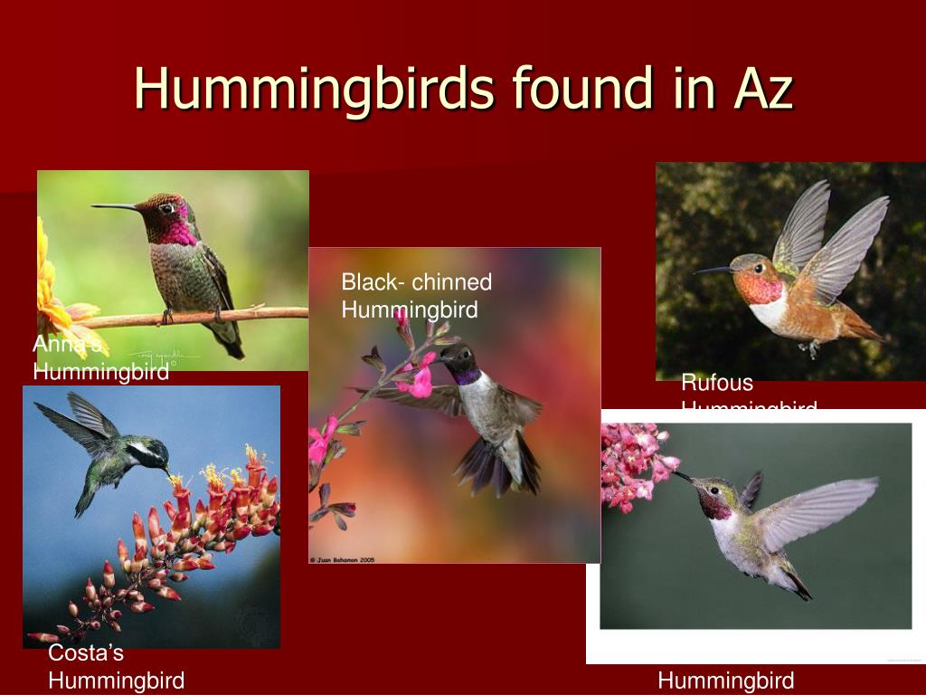 Hummingbirds found in Az