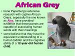 african grey77