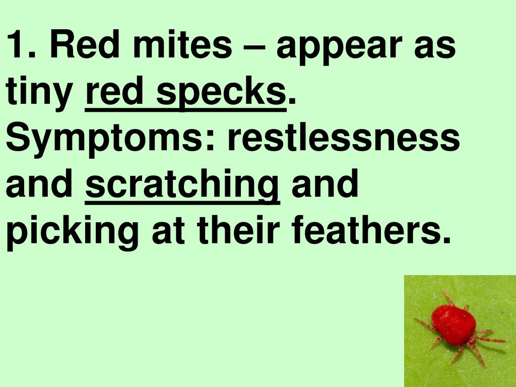1. Red mites – appear as tiny