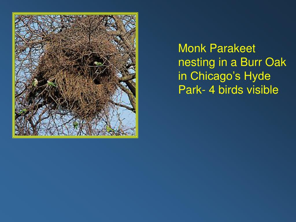 Monk Parakeet nesting in a Burr Oak in Chicago's Hyde Park- 4 birds visible