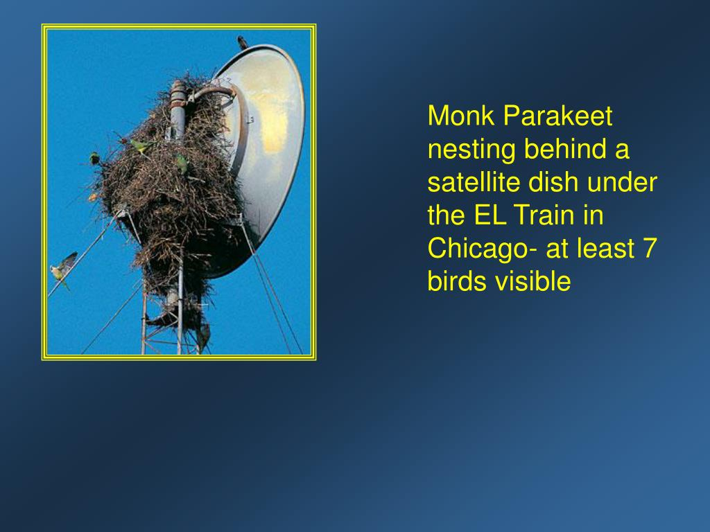 Monk Parakeet nesting behind a satellite dish under the EL Train in  Chicago- at least 7 birds visible