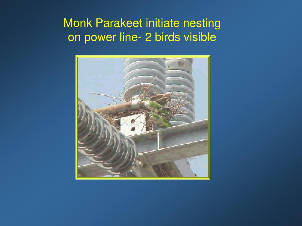 Monk Parakeet initiate nesting on power line- 2 birds visible