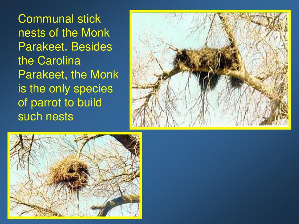 Communal stick nests of the Monk Parakeet. Besides the Carolina Parakeet, the Monk is the only species of parrot to build such nests