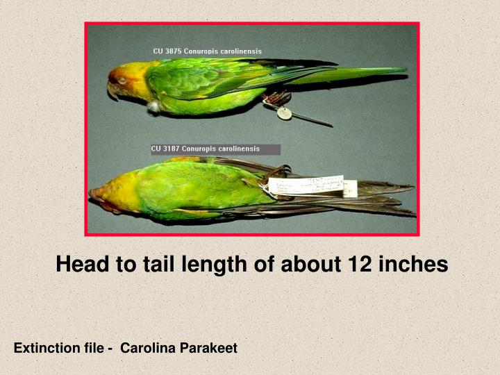 Head to tail length of about 12 inches