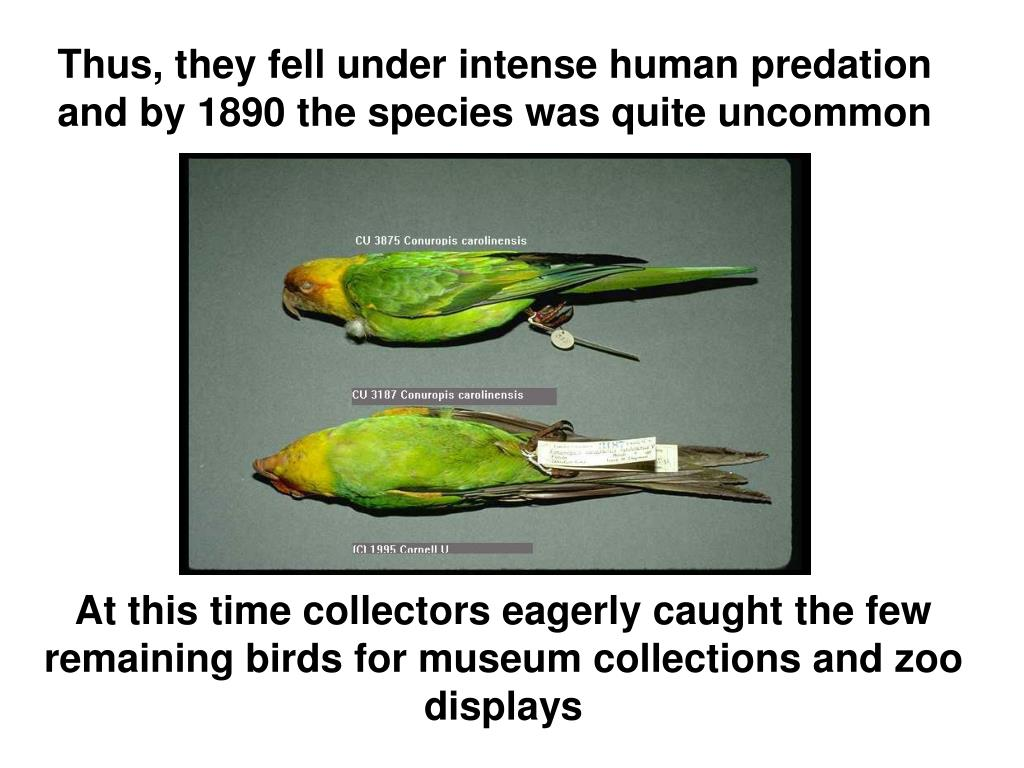 Thus, they fell under intense human predation and by 1890 the species was quite uncommon