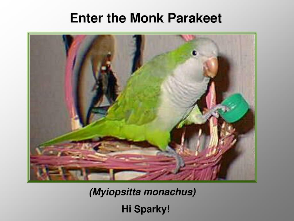 Enter the Monk Parakeet
