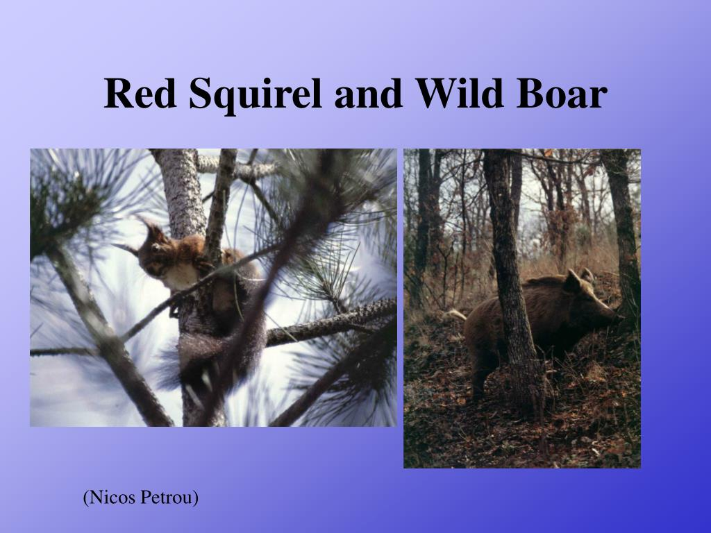 Red Squirel and Wild Boar