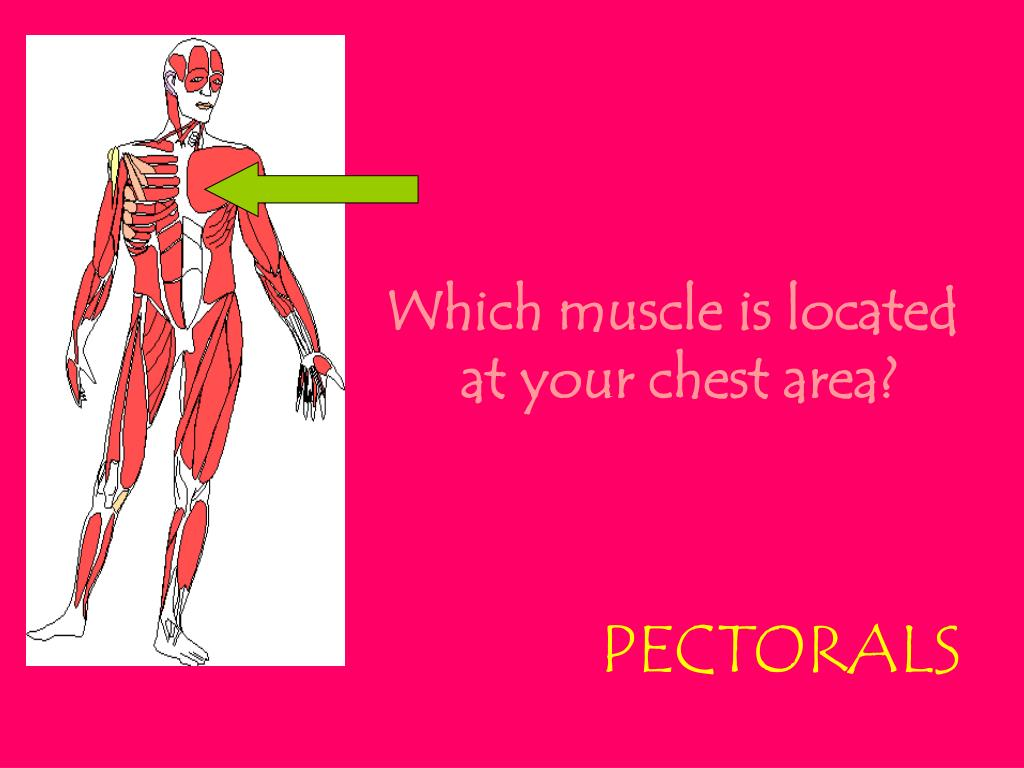 Which muscle is located